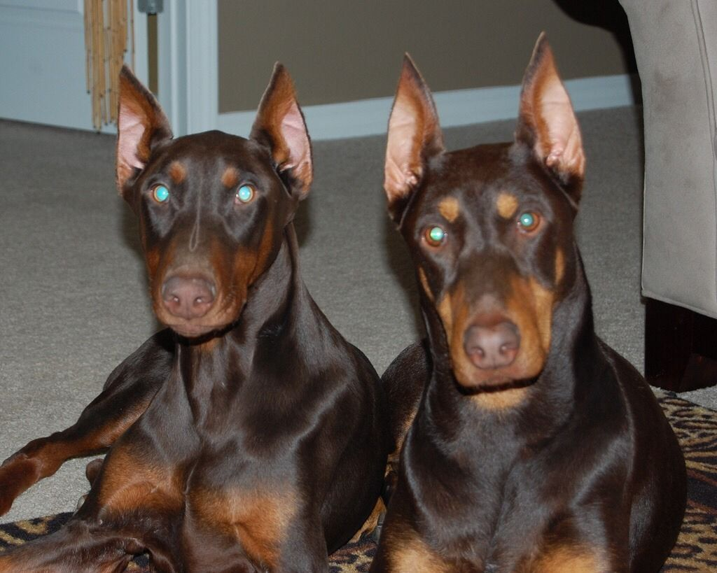 Bare And Snarl Doberman Doberman Pinscher Cute Animals