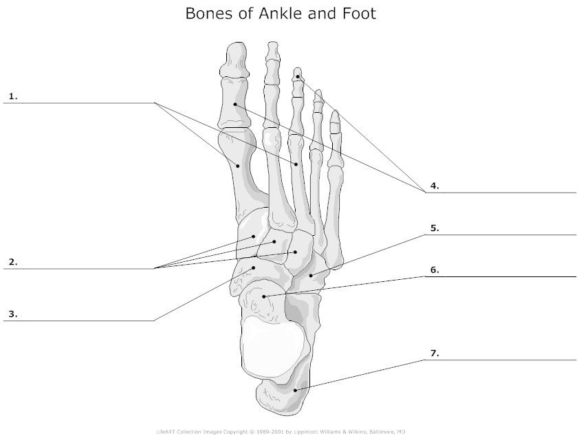 Bones of Ankle and Foot Unlabeled | PTA | Pinterest | Ankle and ...