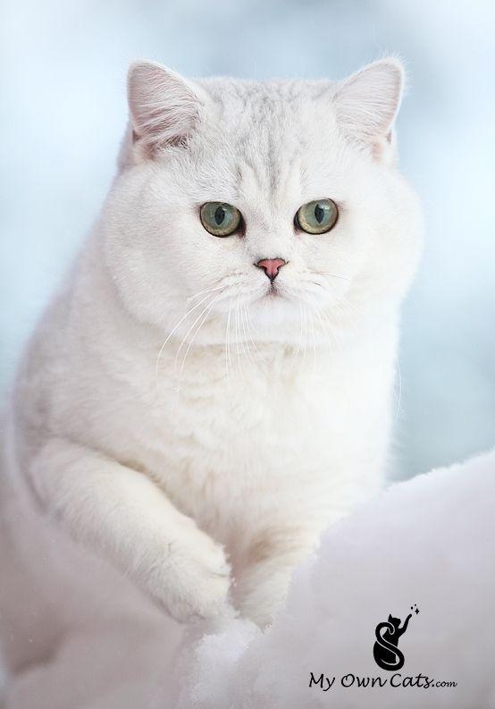 CUTEST cats breeds Cute cat breeds, Cute cats, Cats