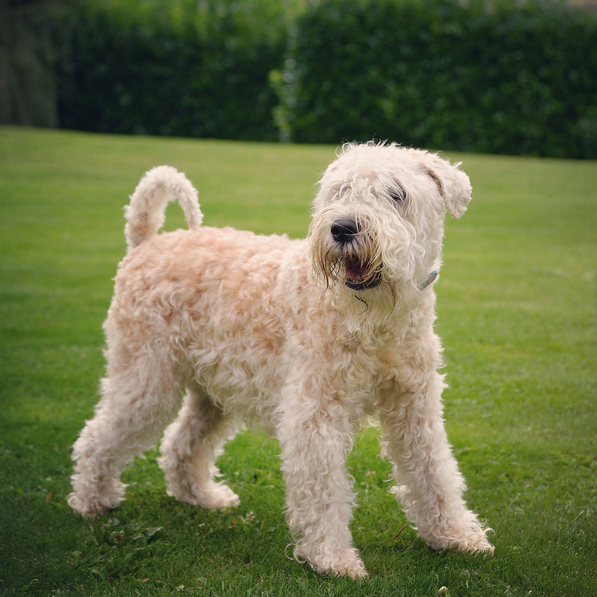 soft coated wheaten terrier | TERRIERS ,PITBULL TERRIERS ...