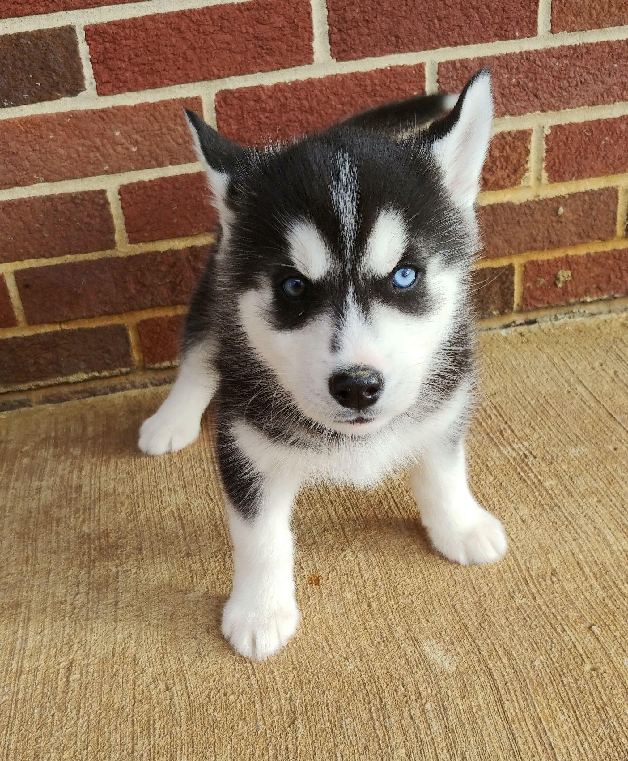 Rosie Aca Siberian Husky Puppy For Sale At Grabill Indiana In 2020 Husky Puppies For Sale Puppies For Sale Husky Puppy