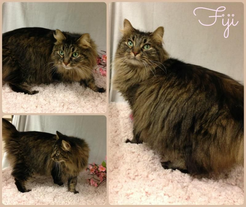 Adopt Fiji on | Cats | Maine coon, Cats, Adoption