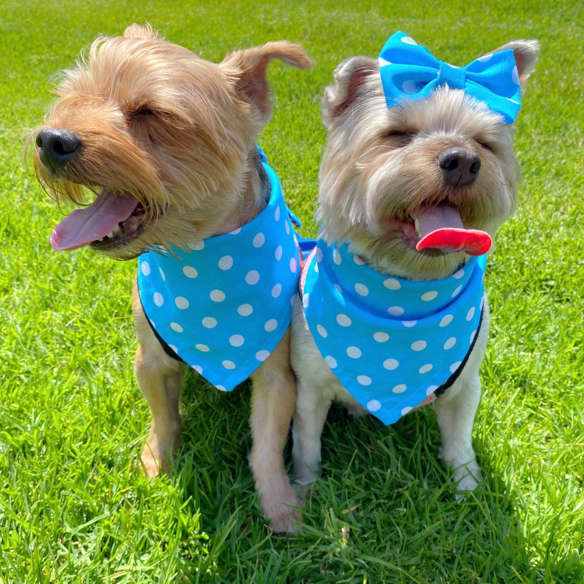 Yorkie Puppy Dogs We cover the