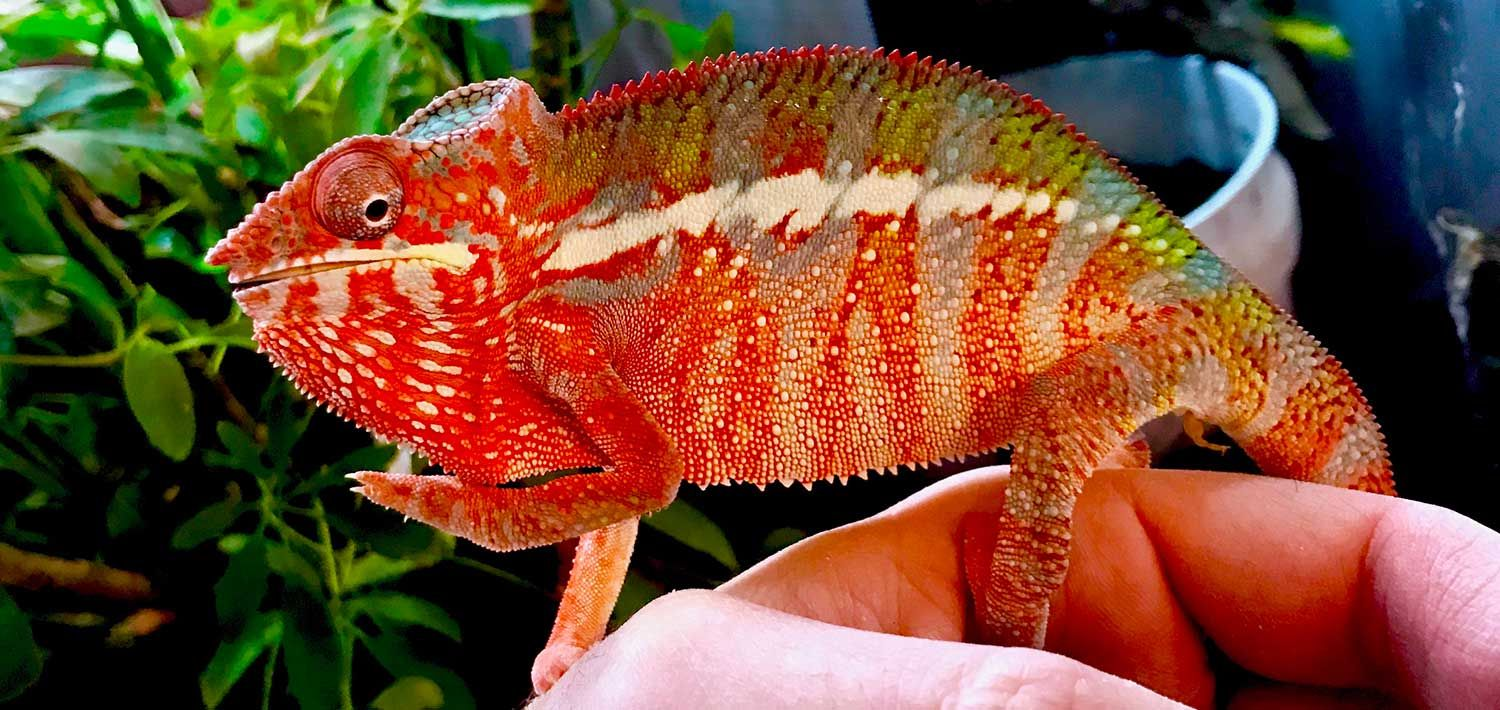 panther chameleon for sale online | Chameleons for sale ...
