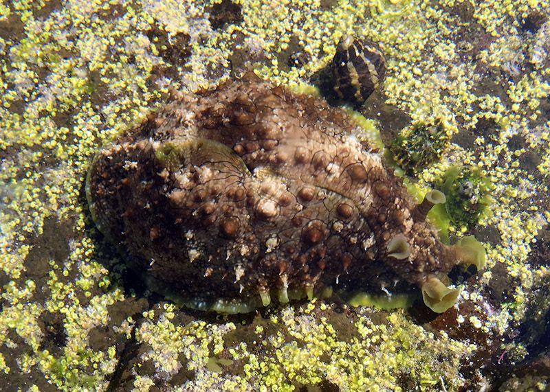 Dolabella Brazieri Warty Sea Hare Liebre Moluscos Vida Marina