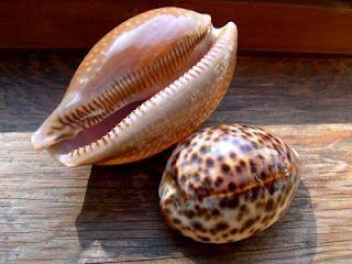 Cowry Shells Seashell Identification Sea Shells Shells