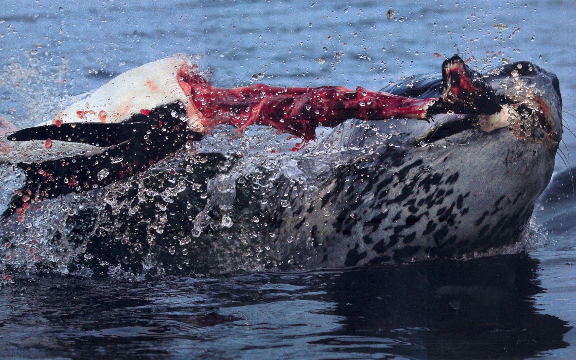 A leopard seal kills a penguin | wtf and cool pics | Pinterest ...