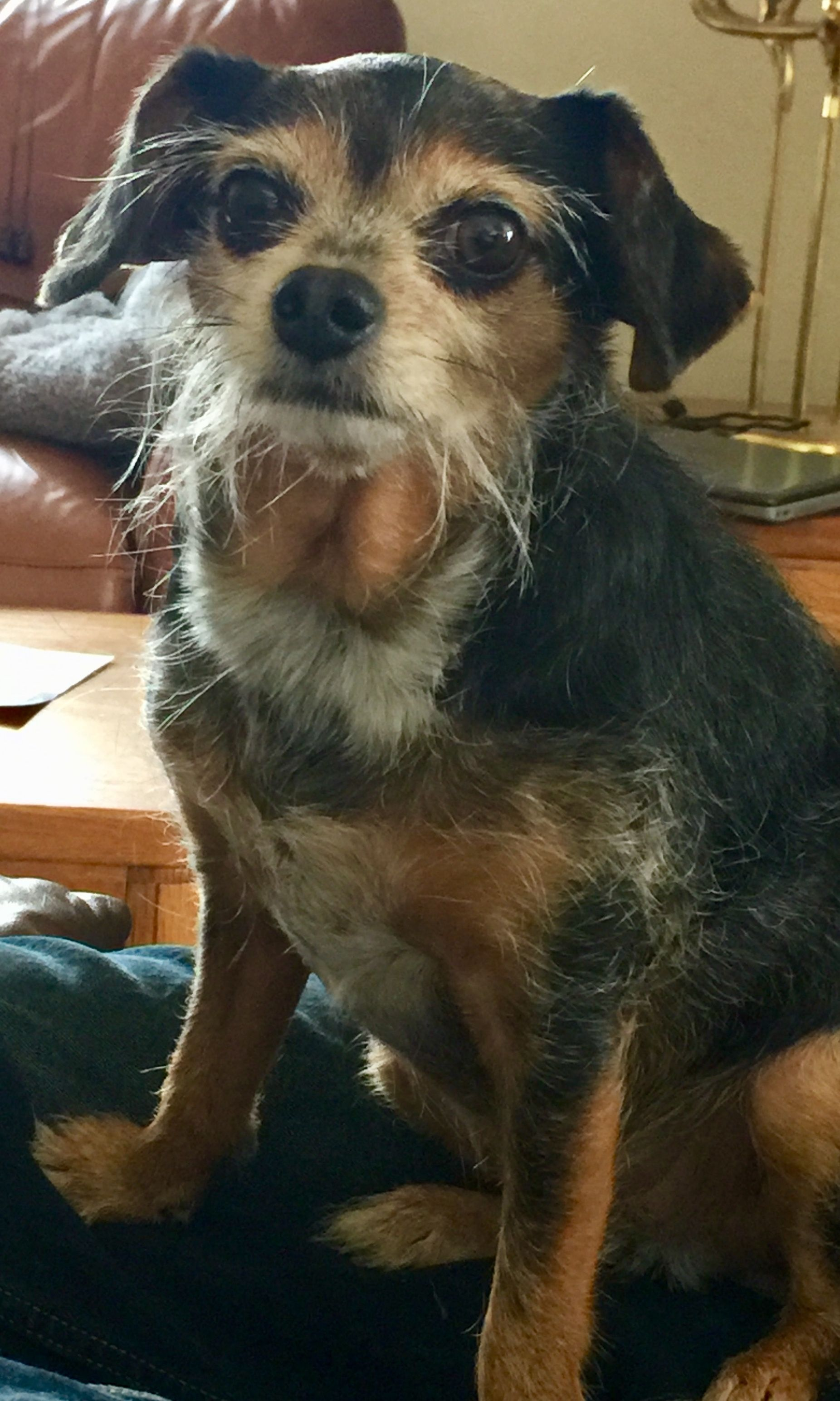 Chelsea The Catfish Chiweenie Wirehaired Dachshund Chihuahua Mix Chihuahuamix Wire Haired Dachshund Baby Dogs Cute Animals