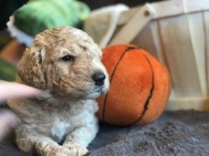Medium Goldendoodle Boy Golden Doodle Puppies For Sale
