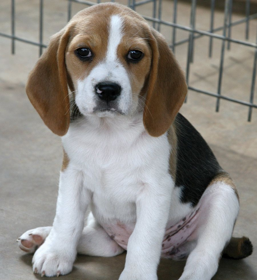Beagle Small Dog Breed Best Small Dogs Dog Breeds Best Small