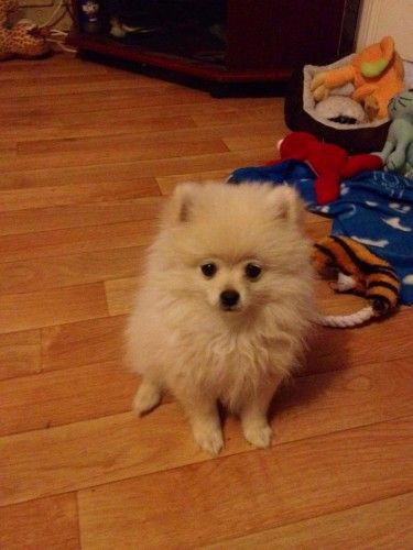 Stolen Small Cream Pomeranian From Australind Perth Wa 6233 Losing A Dog Pomeranian Animals