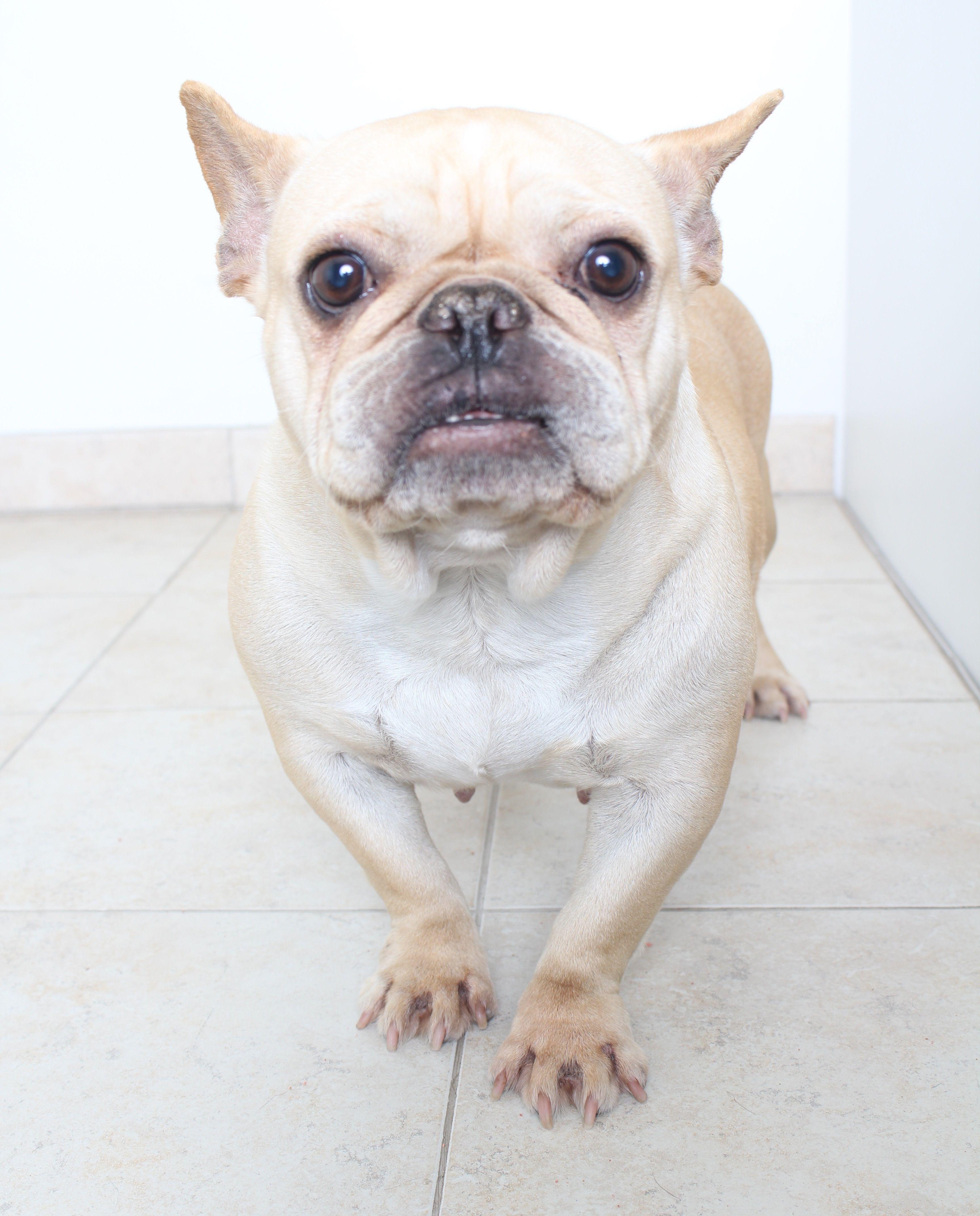 French Bulldog dog for Adoption in Eden Prairie, MN. ADN