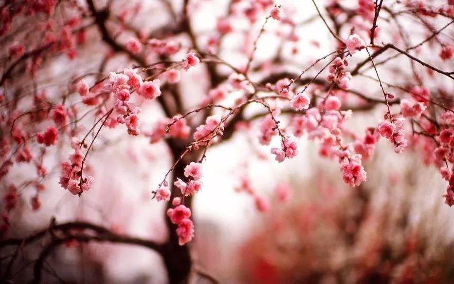 Shanghai 2018 Timetable For Admiring The Beauty Of Flowers Cherry Blossom Wallpaper Cherry Blossom Tree Sakura Cherry Blossom