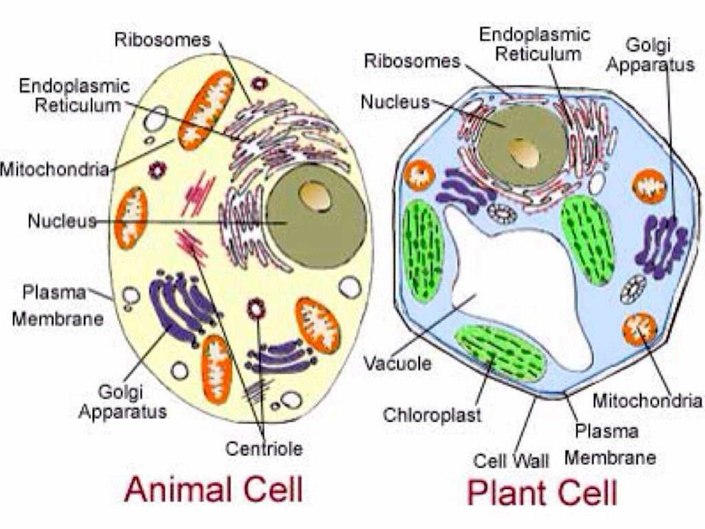 Organelle Project by Joshua Hemphill Animal cell, Plant