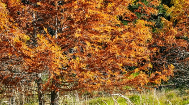 Fall Landscape How To Optimize For Seasonal Color Autumn Landscape Landscape Trees Kentucky Coffee Tree