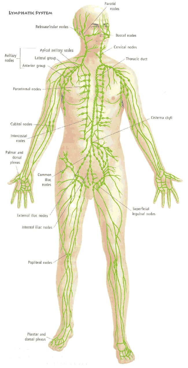 Picture Of Human Lymphatic System Human Anatomy Pictures