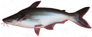 Ikan Patin Umpan Ikan Patin Ikan Umpan Pancing Habitat