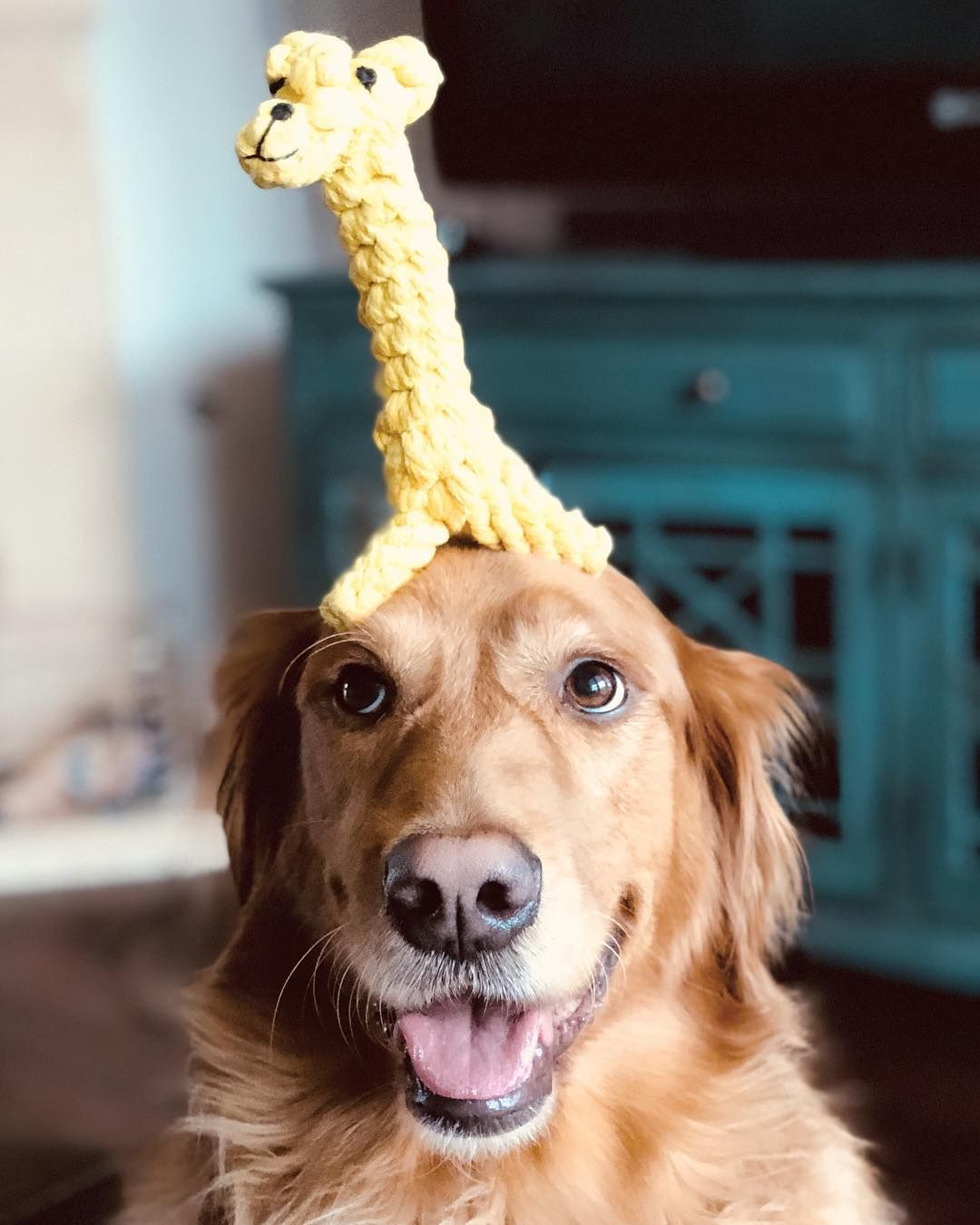 I Love My Goldenretriever Golden Retriever Oldmanbella Goldensofinstagram Cutestgoldens Dallas Petfriendly Welovego Golden Retriever Dog Modeling Petco