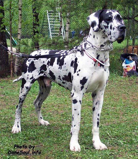 Great Dane Harlequin Dane Dog