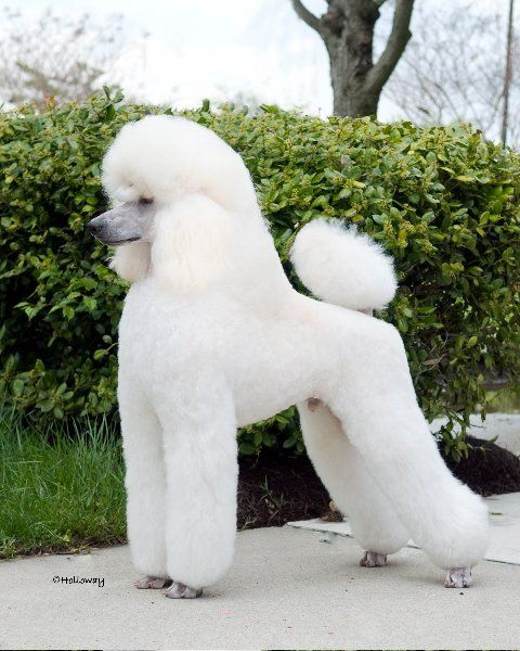 This Is The Clip I Will Do On My White Standard Poodle Diane