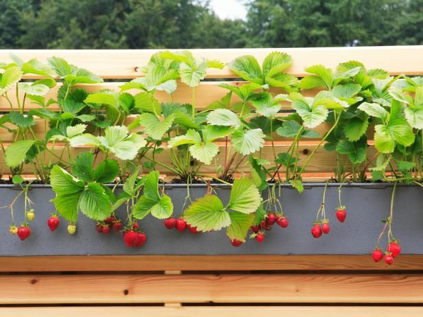 Grow Strawberries In A Windowbox Small Space Gardening Growing Strawberries Fruit Trees In Containers