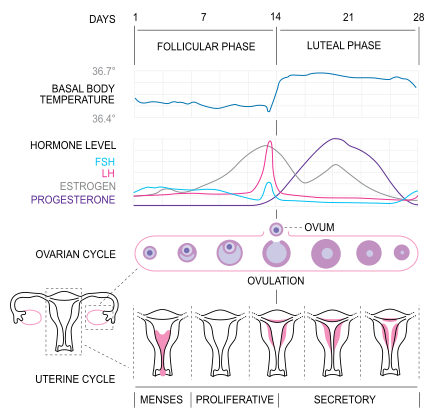 Now I Understand Lh And Fsh And The Corpus Luteum With Images Menstrual Migraines Basal Body Temperature Menstrual Cycle