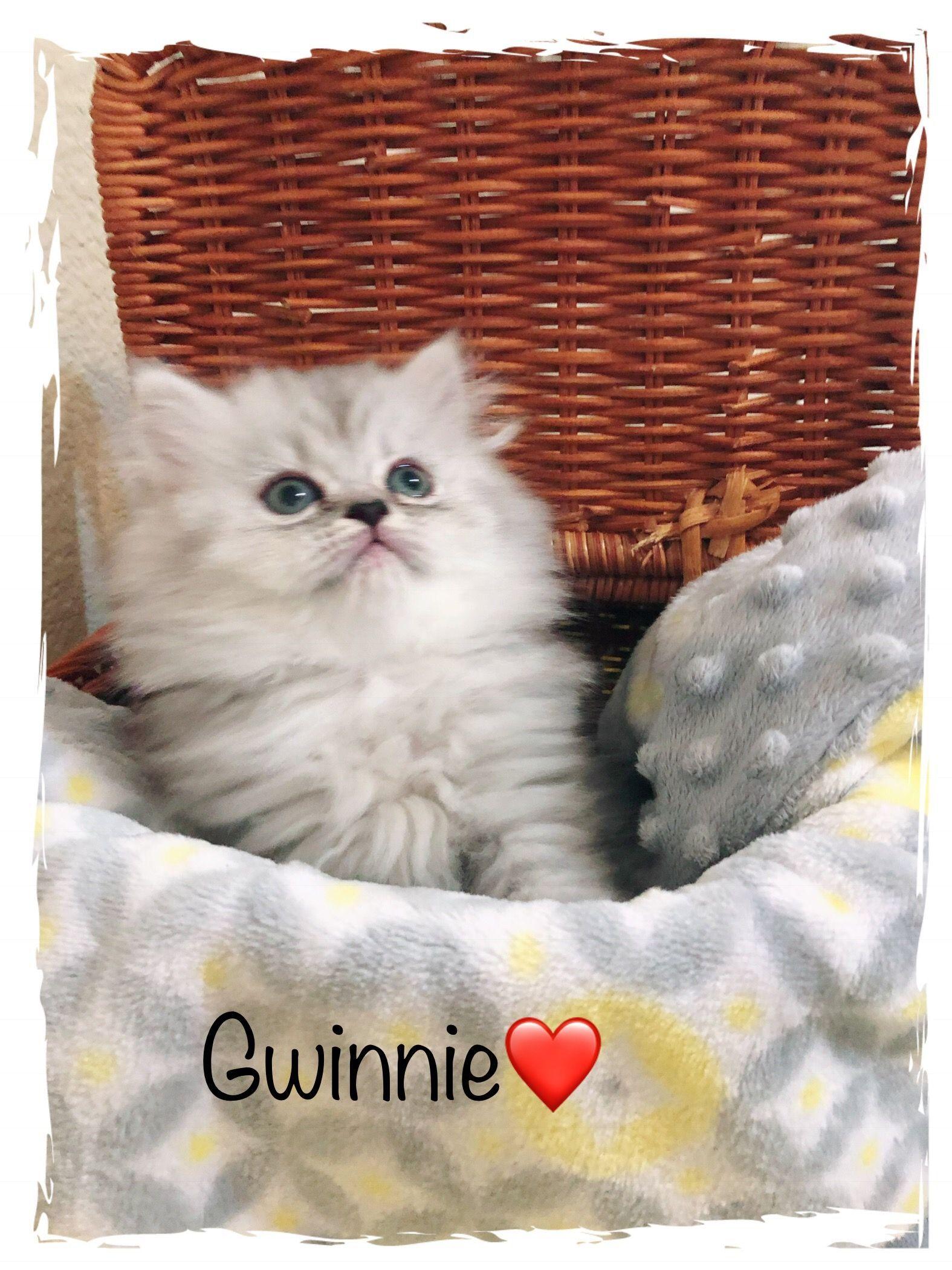 Silver persian kittens! Little Gwinnie Persiankittenpals