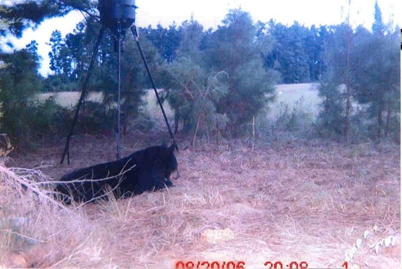 Looking For East Texas Bears Texas East Cattle Ranching