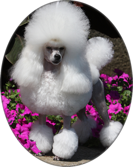 Rodell Toy Poodles Poodle Dog Personality Miniature Poodle