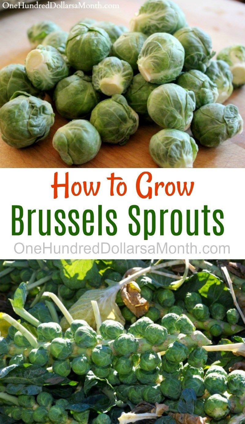 How to Grow Brussels Sprouts {Start to Finish} - One Hundred Dollars a Month #howtogrowvegetables