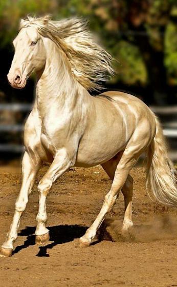 Beautiful Horse, Akhal Teke golden wonder!