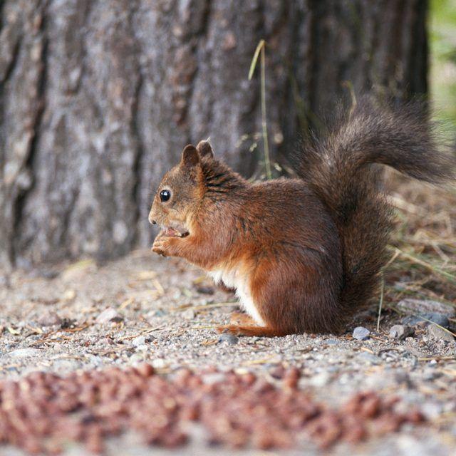 e5535129e8b02808fd7089f88a7c3ea4 - How To Get Rid Of Squirrels In My Ceiling