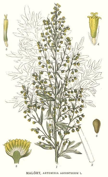 Artemisia absinthium | Artemisia absinthium, Ilustração botânica, Óleo  essencial
