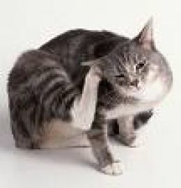 Cat Ear Problems Cat Ear Mites Clean Cat Ears Cat Fleas