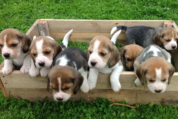 Get healthy and ethically bred Beagle puppies for sale
