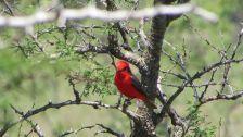 Petirojo pajarito ave bird animals