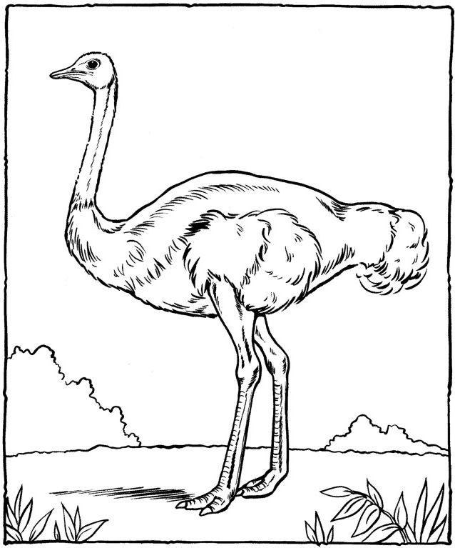 Autruche Ostrich Dibujos Bocetos Y ñandu Dibujo