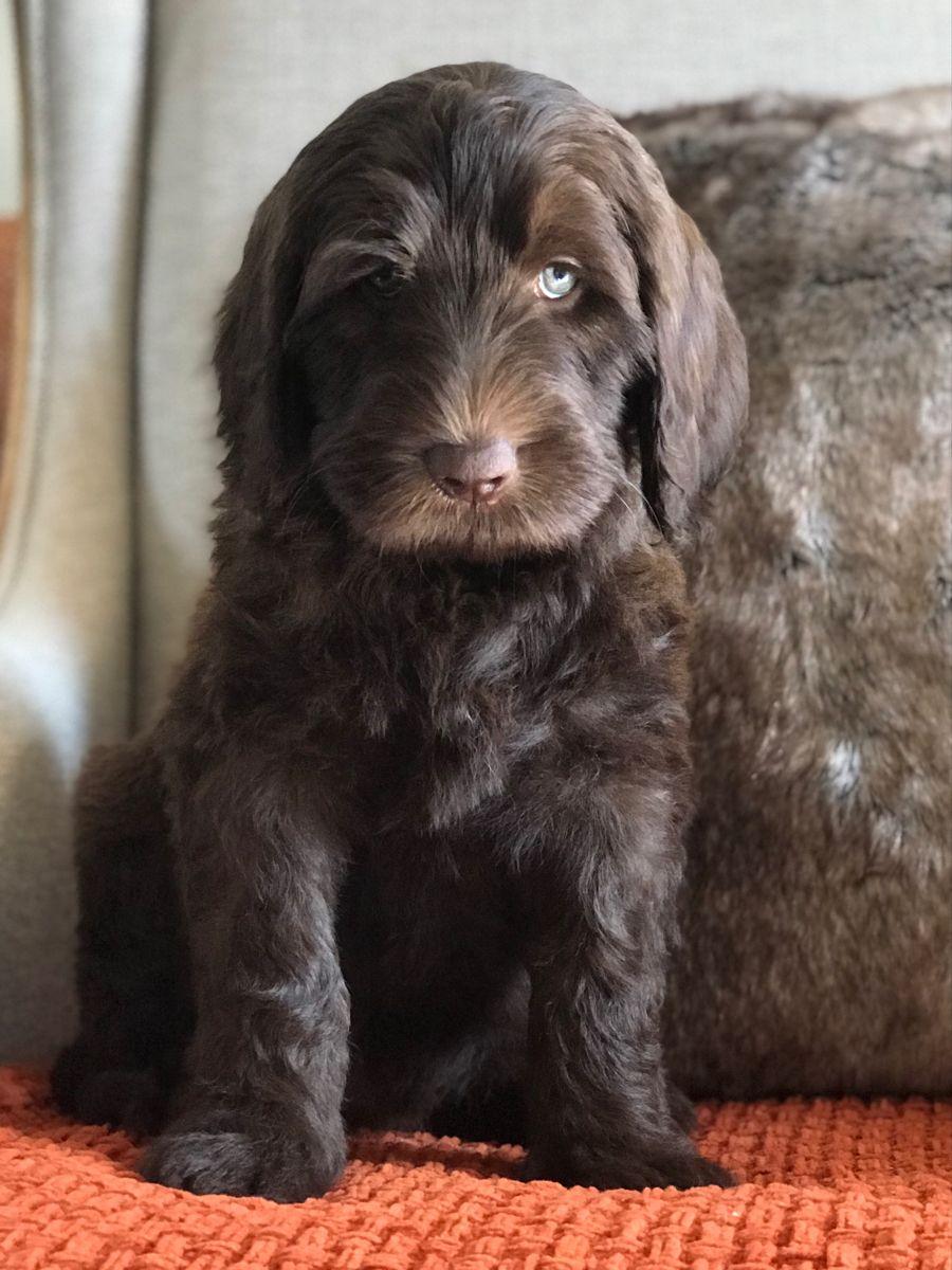 Brickhaven Labradoodles In 2020 Australian Labradoodle Puppies Australian Labradoodle Labradoodle Puppy