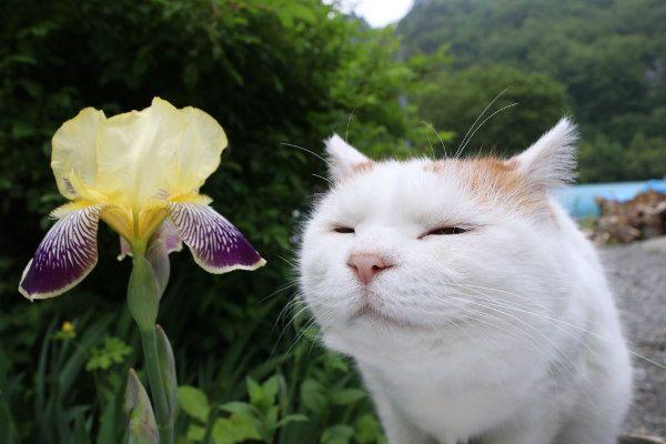 あやめ - かご猫 Blog