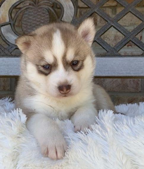 Amazing Grace Siberian Husky Puppy Husky Puppy Husky Husky