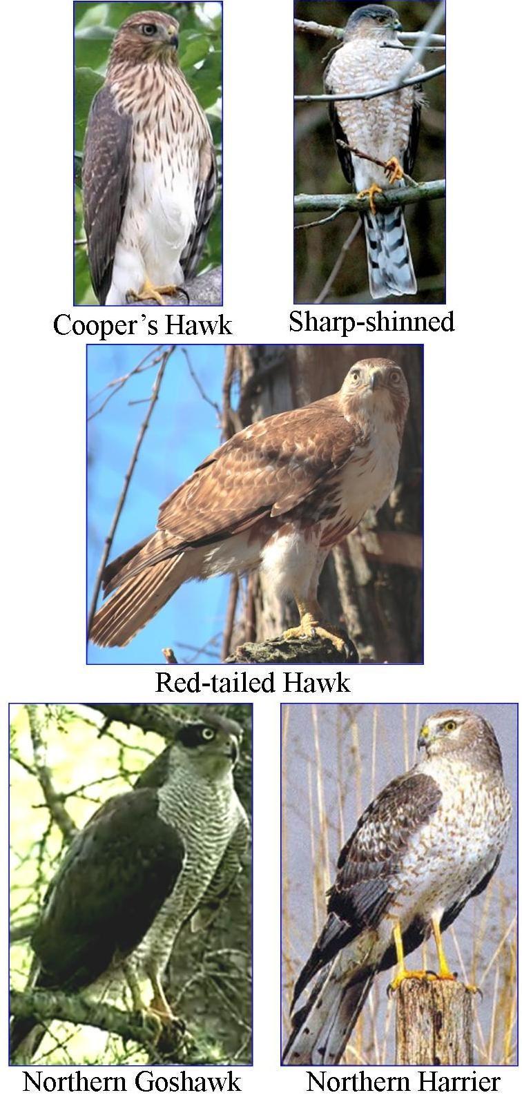 Wild Birds Unlimited Most Common Winter Hawks In Michigan Wild Birds Unlimited Hawk Bird Birds Of Prey