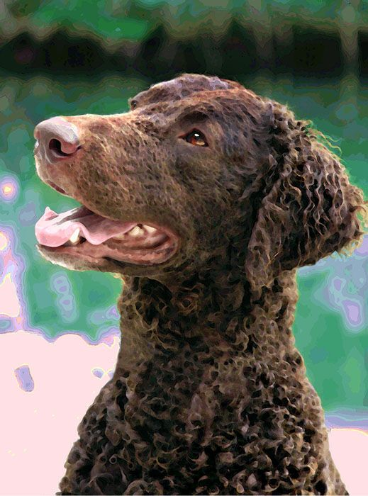 Curly Coated Retriever Puppy Dog Breeds Sporting Dogs