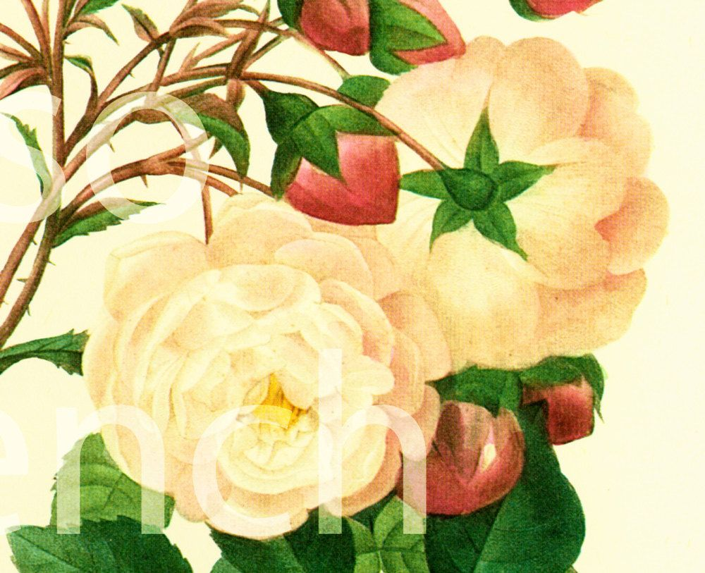 Rosa Adelaide d\'orleans Large Size Botanical print REDOUTE FLOWERS ...