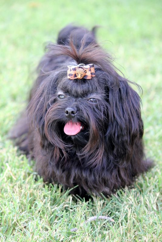 Russian Tsvetnaya Bolonka Little Dogs Dog Breeds Dogs And Puppies