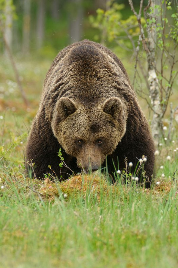 Oh Grizzz Grizzly Bear In The Wild Taiga Forest In Central Finland By Edwin Kats Animals Wild Animals Beautiful Bear Pictures