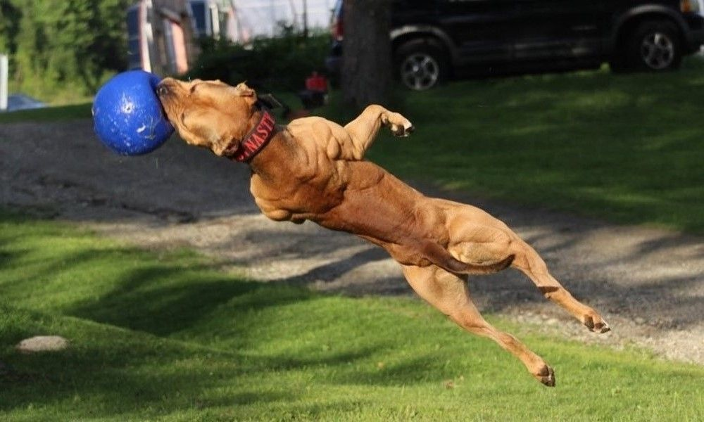 Meet The World S Toughest Guard Dog He Can Run Up Walls Pitbull