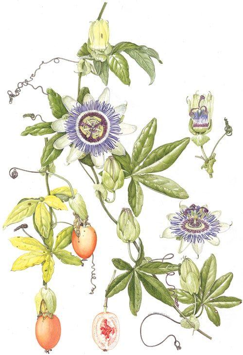Pasiflora Dibujos Botanicos Pasiflora Ilustracion De Botanica