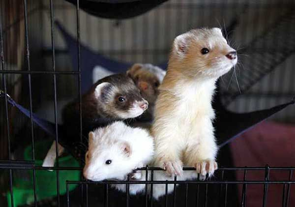 California Ferret Owners Mount New Efforts To Have Their Pets Legalized In The State Ferret Baby Ferrets Pet Ferret