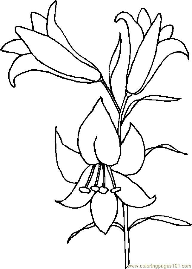 Easter Lily Drawing Lily Coloring Page