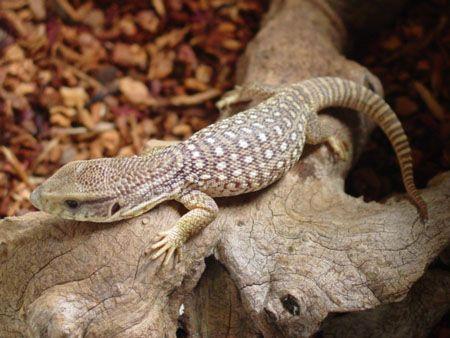 savannah monitor for sale at Voracious Reptiles | Lizards